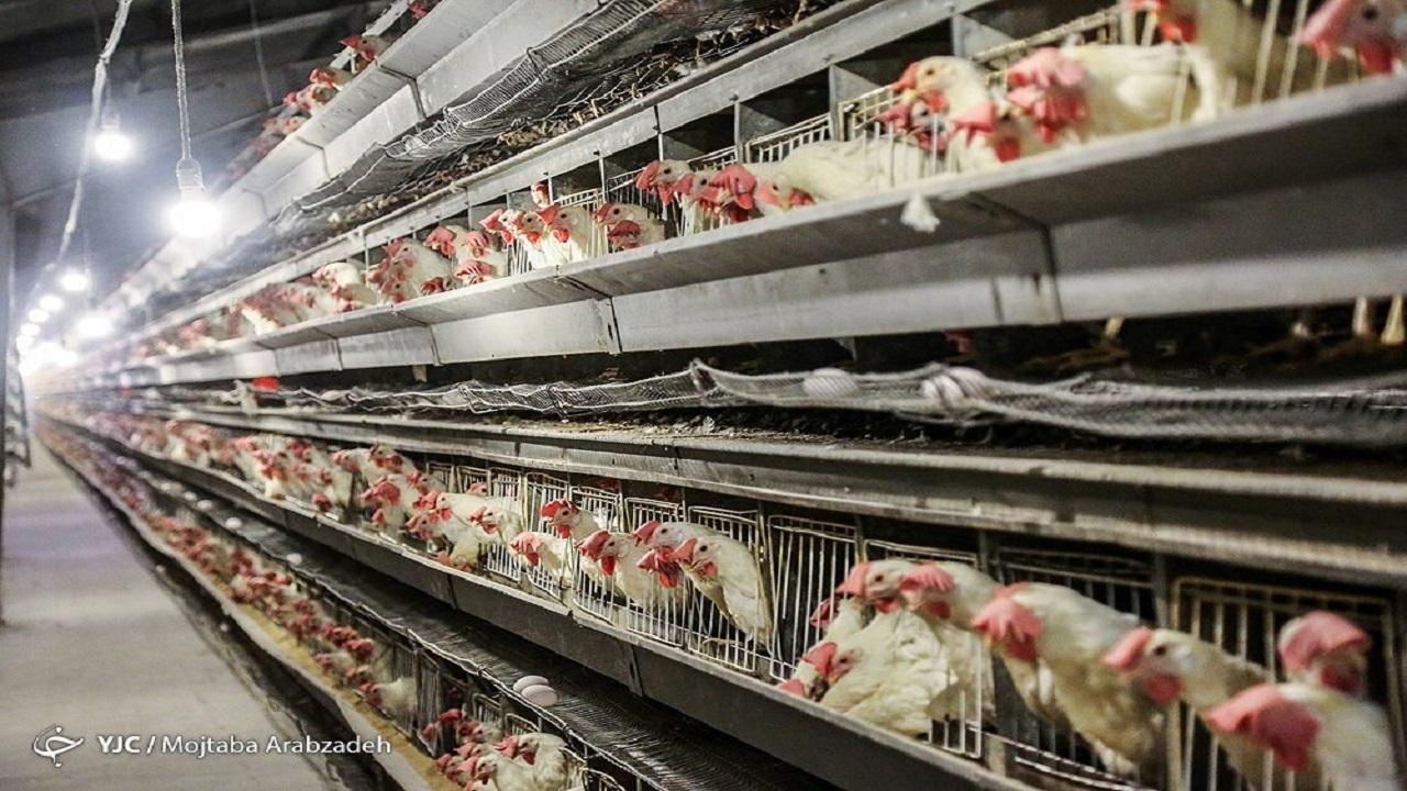 حباب کاذب قیمت مرغ در بازار