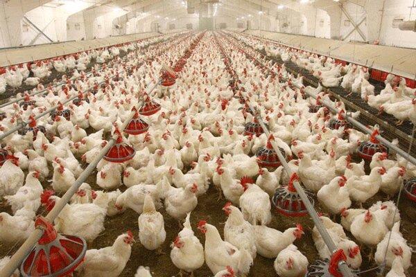 قیمت مرغ در بوشهر متعادل میشود