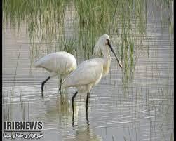 ۳۰هزار پرنده مهاجردر تالاب گندمان