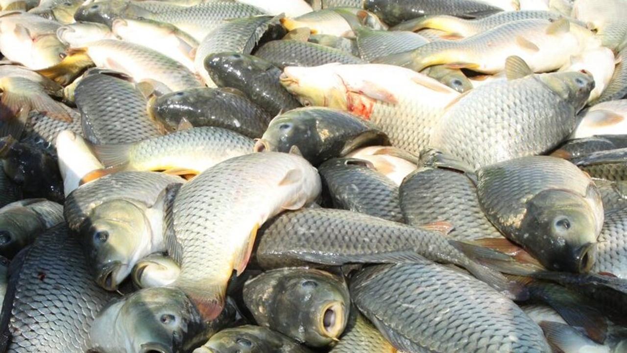 تولید بیش از ۲۰۰ تن ماهی استخوانی در گلستان
