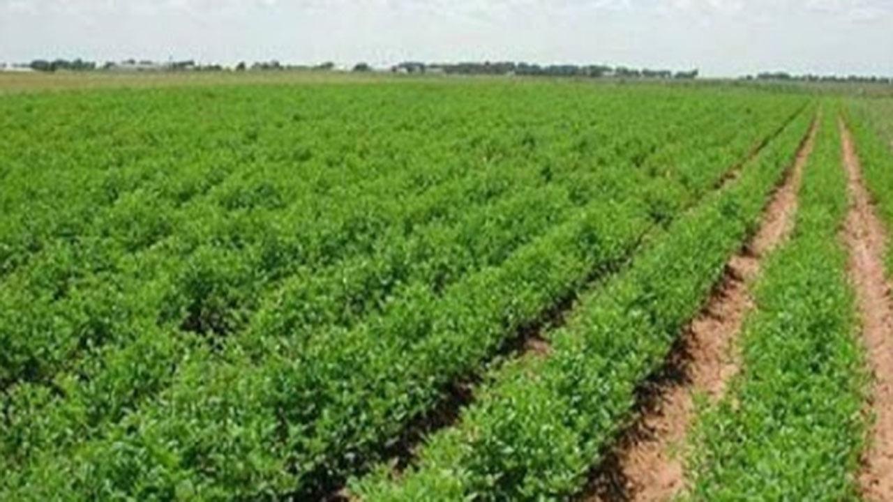توصیه جهاد کشاورزی گلستان به کلزاکاران