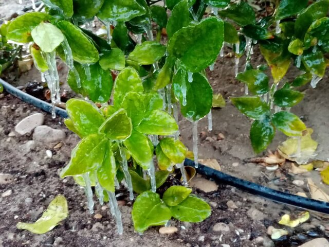 خسارت ۸۰۰ میلیارد ریالی سرما به کشاورزی قیروکارزین