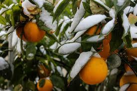 خسارت سرما به باغداران جهرم فارس ۹۴۰ میلیارد ریال برآورد شد