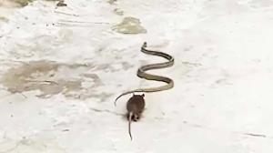 کلیپی عجیب از بازی موش با دم مار!
