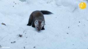 تعقیب و گریز سمور با موش زیر برف