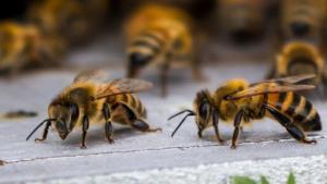 تغذیه جالب زنبورها از لاشه ماهی افتاده در ساحل