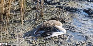 هیچ مورد آنفلولانزای فوق حاد پرندگان در کرمانشاه مشاهده نشده است