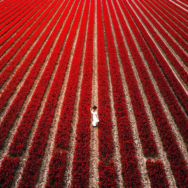 مزرعه لاله ها در هلند