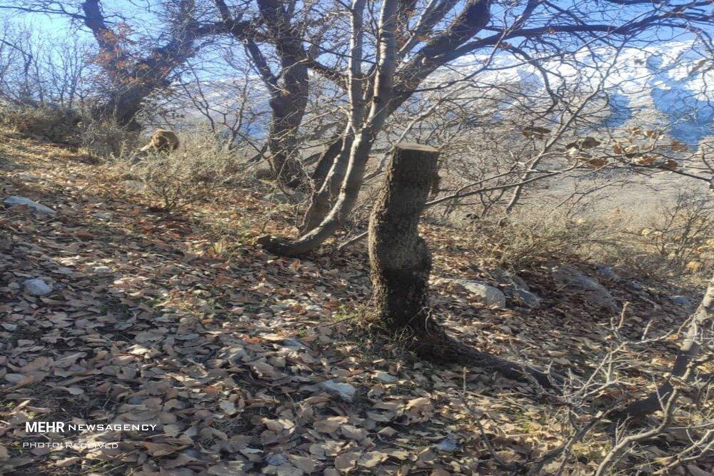 مرگ زمستانی بلوط های