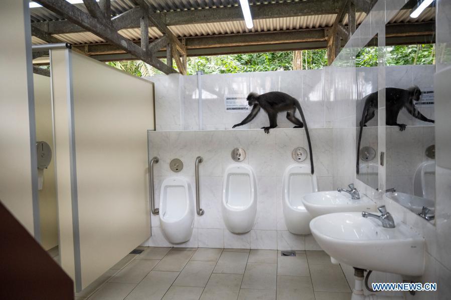 حرکات عجیب یک میمون «لنگور» در توالت عمومی!