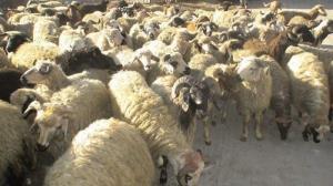 احشام قاچاق شده به مرزبانان عراقی تحویل داده شد
