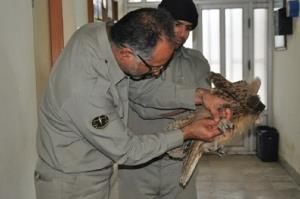 یک قطعه شاه بوف در شاهیندژ حین شکار دچار برق گرفتگی شد