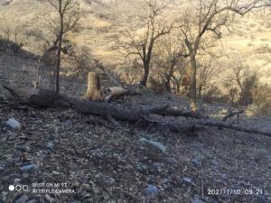 قطع درختان بلوط به دلیلی عجیب