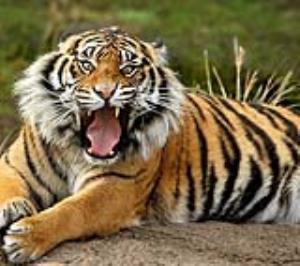 لحظه حمله دلهره آور ببر بنگال به جیپ گردشگری!
