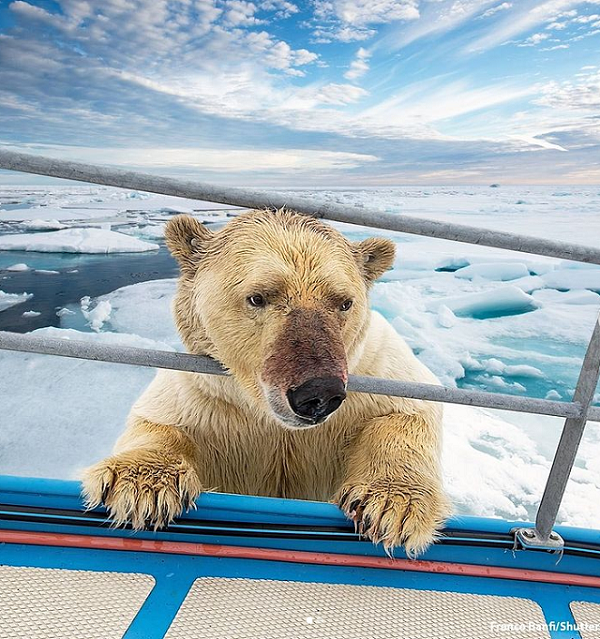 تلاش خرس قطبی کنجکاو برای سوار شدن بر روی قایق!