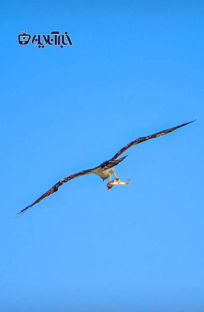 لحظه حیرتانگیز شکار ماهی توسط عقاب در تالاب هورالعظیم