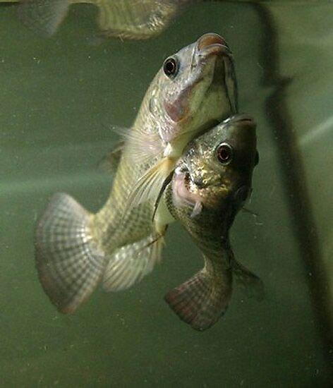 دو ماهی به هم چسبیده عجیب!