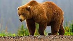 صحنه غم انگیز یک خرس آزاد شده از باغ وحش