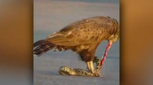 زنده زنده خوردن مار توسط عقاب!