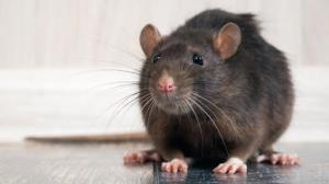 ایده ای جالب برای به دام انداختن موش های مزاحم
