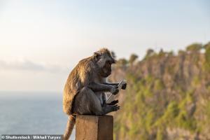 میمون هایی که موبایل گردشگران را گروگان می گیرند!