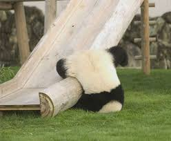 بازیگوشی پانداها در باغ وحش