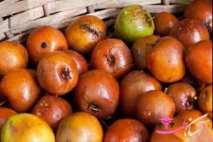خواص میوه خوراکی درخت سدر