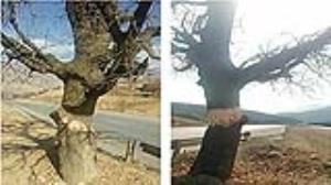 جفا در حق درخت کهنسال بلوط در خرم آباد