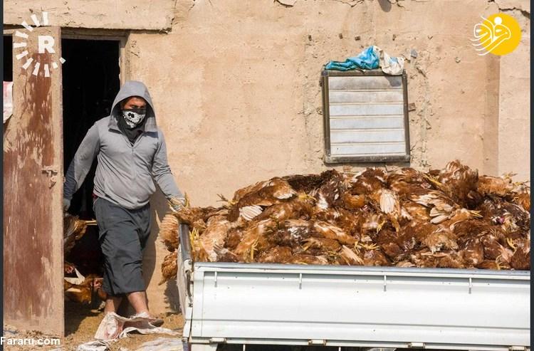 شیوع گسترده آنفلونزای مرغی در سامرا