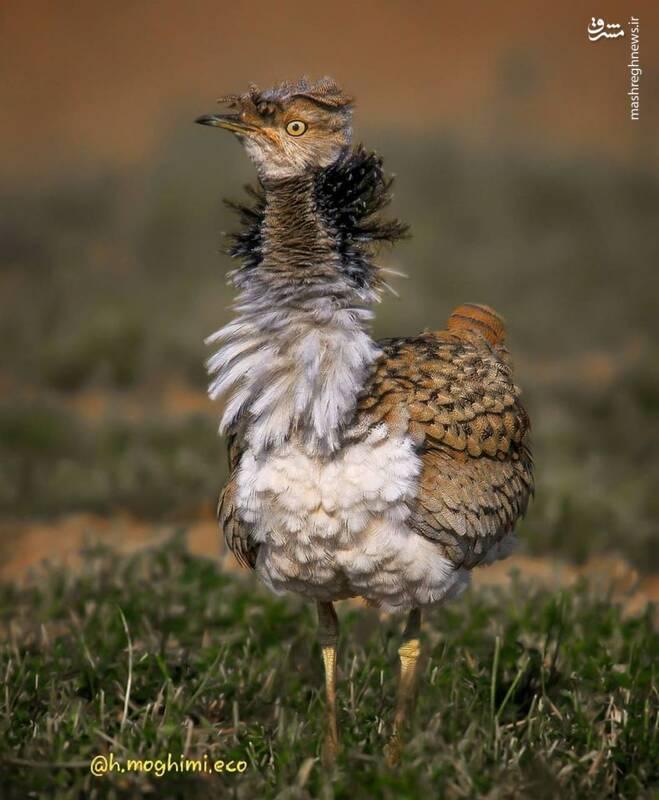 فیگور پرنده هوبره در مقابل دوربین