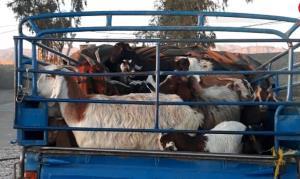 کشف ۱۷ رأس احشام فاقد مجوز در شهرستان سربیشه