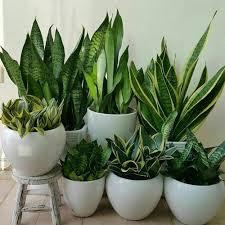 شرایط نگهداری از گیاه محبوب سانسوریا در خانه