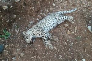 مرگ یک قلاده پلنگ در جنگل های آمل به دست شکارچیان غیرمجاز