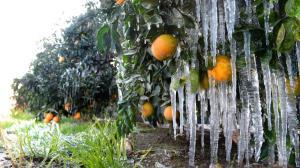 باغداران گلستانی برای کاهش خسارت سرما زدگی چه کنند؟