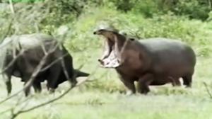مجازات سخت ورود بوفالو به قلمرو اسب آبی