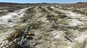 سرمازدگی ۶۰۲ میلیارد ریال به بخش کشاورزی سیستانوبلوچستان خسارت زد