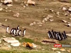 مواجهه جالب دو گروه از پنگوئنها با یکدیگر