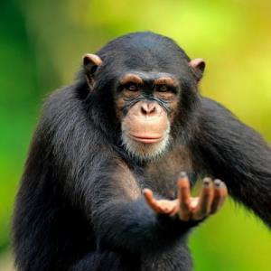 میمونها متوجه ارزش اشیاء میشوند!