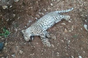 شکار مرگبار یک قلاده پلنگ در جنگل های آمل