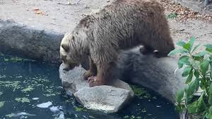 نجات جالب کلاغ توسط خرس!