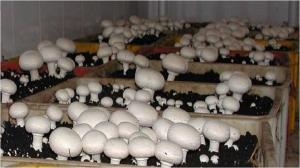 کرونا مصرف قارچ را افزایش داد