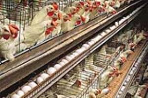 قیمت تخم مرغ به سراشیبی افتاد