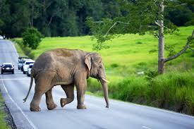 ترافیک به خاطر جولان یک فیل در جاده!