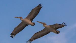 تصاویر ناب پرواز پلیکان های خاکستری در بهشت پرندگان
