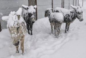 حیواناتی که ایستاده یخ زده اند!