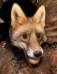 انتظار کشیدن روباه برای گرفتن سهمیه تخم مرغ!