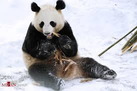 بازیگوشی دیدنی پانداها در برف