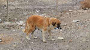 سگهای بیسرپناه در اردبیل ساماندهی میشوند