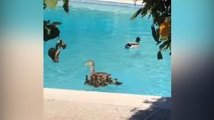 نجات جوجه اردکها از داخل چاه