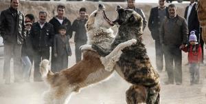 هشدار درباره پدیده شوم «جنگ سگها» در  شهرستان سراب
